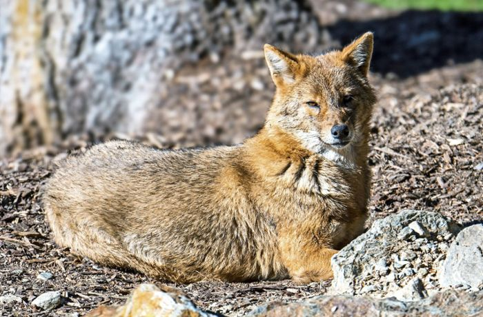 Fund in Rastatt: Verdrängt der Goldschakal den Fuchs?
